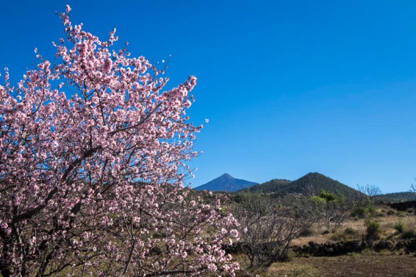 Almond blossom up to six weeks early on Tenerife.